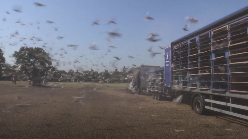 Pigeon racing becomes first spectator sport to resume