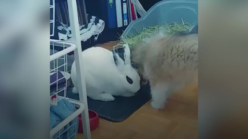 Rescue rabbit and Shetland sheep dog are melting hearts with their inter-species friendship