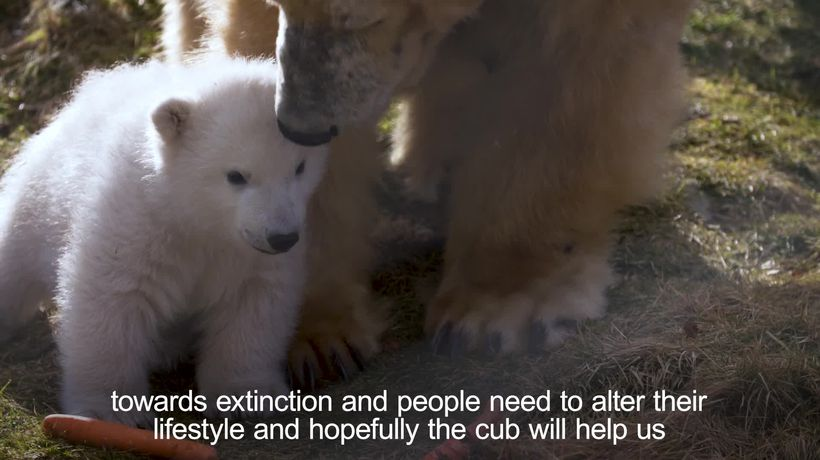 UK's only polar bear cub takes its first steps outside