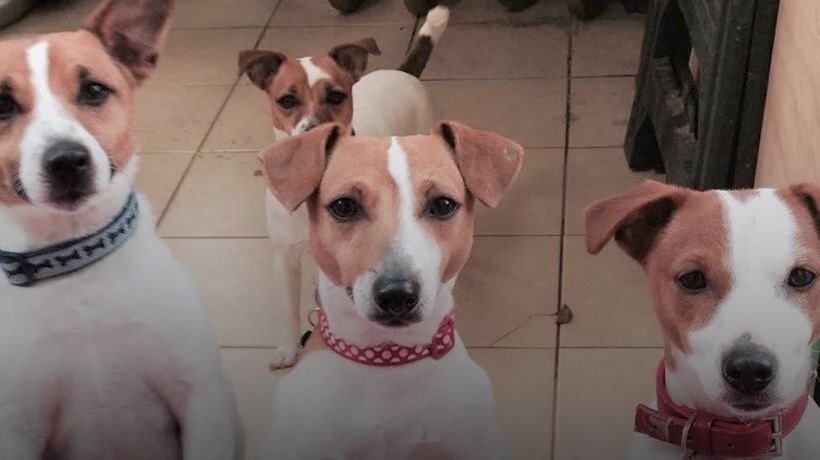 Family's pack of Jack Russells inspires children's book