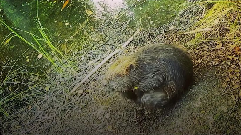 Norfolk's first baby beavers for 600 years caught on camera