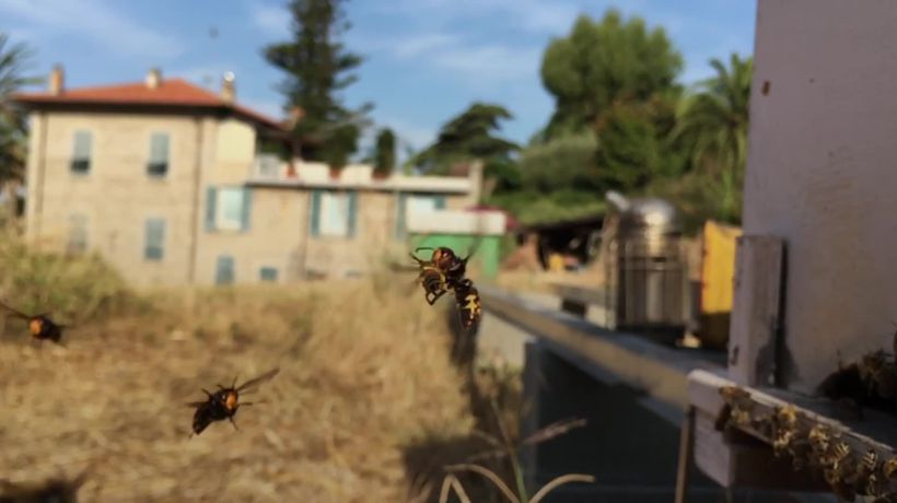 Incredible footage shows Asian hornets ambushing honeybees
