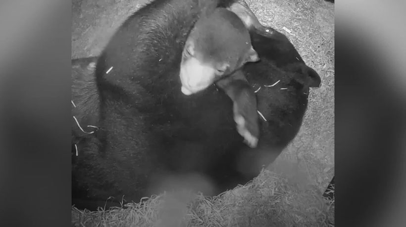 UK's first baby sun bear cuddles mum