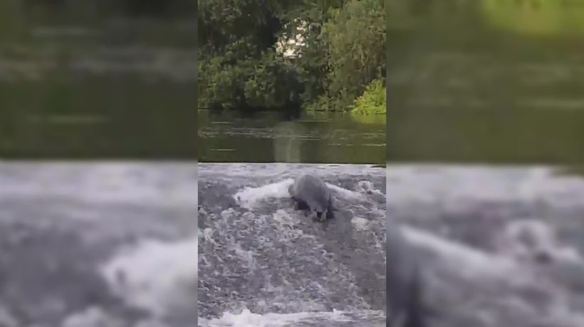 Seal spotted on River Lee in Cork