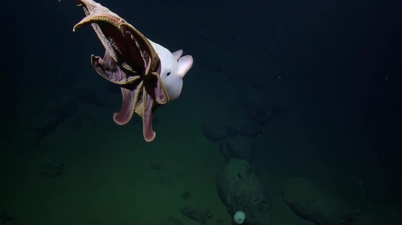 Rare 'Dumbo' octopus spotted off the coast of California