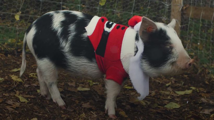 Pigs take part in annual Christmas Jumper Day
