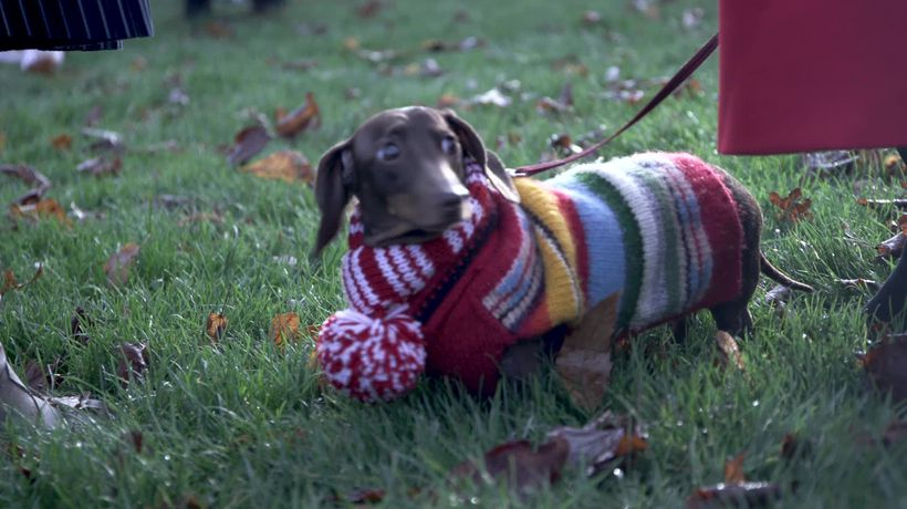 Hundreds of sausage dogs take seasonal stroll in Hyde Park