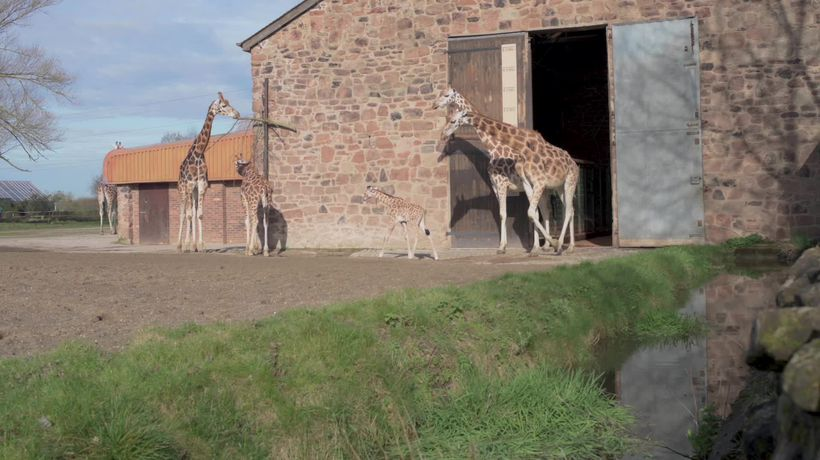 Baby giraffe takes first steps outside at Chester Zoo