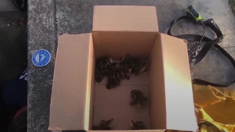 Californian fire service rescue 10 ducklings from a storm drain