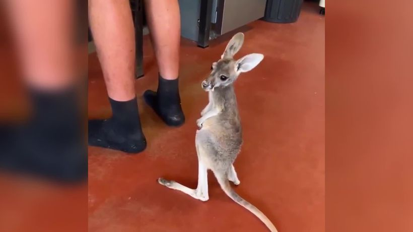 Cute baby kangaroo gets impatient as she waits for her milk