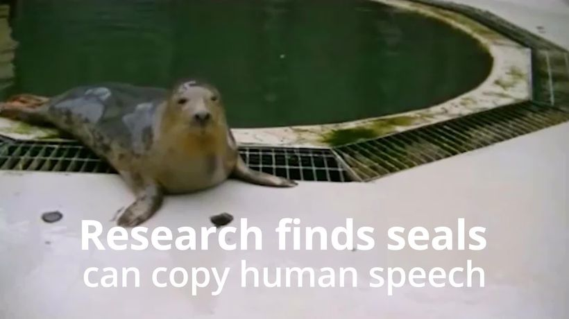 Seals can copy human speech and music, study suggests