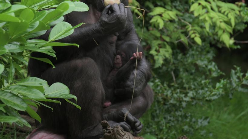 Chester Zoo welcomes rare chimpanzee baby to the fold