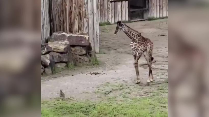 Baby giraffe comes face to face with young rabbit