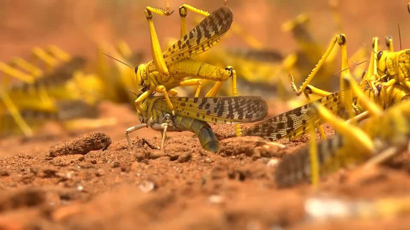 Kenyan farmers hit hard by locust invasion