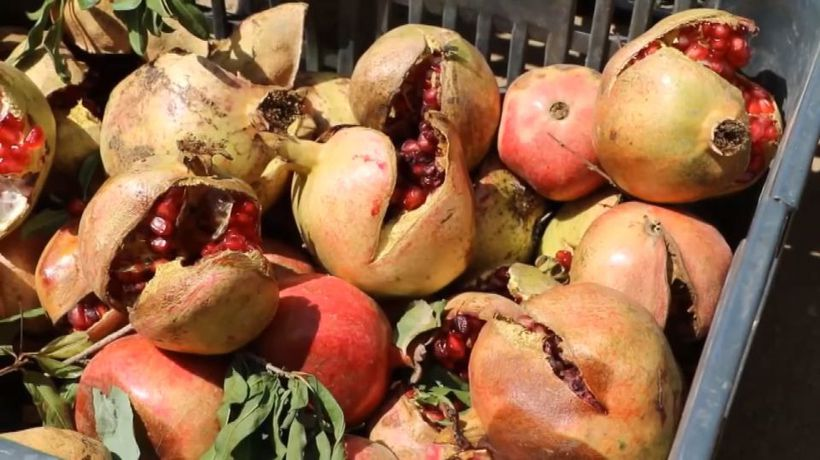 Humble pomegranates provide clues on to how to end Yemen's war-fuelled hunger