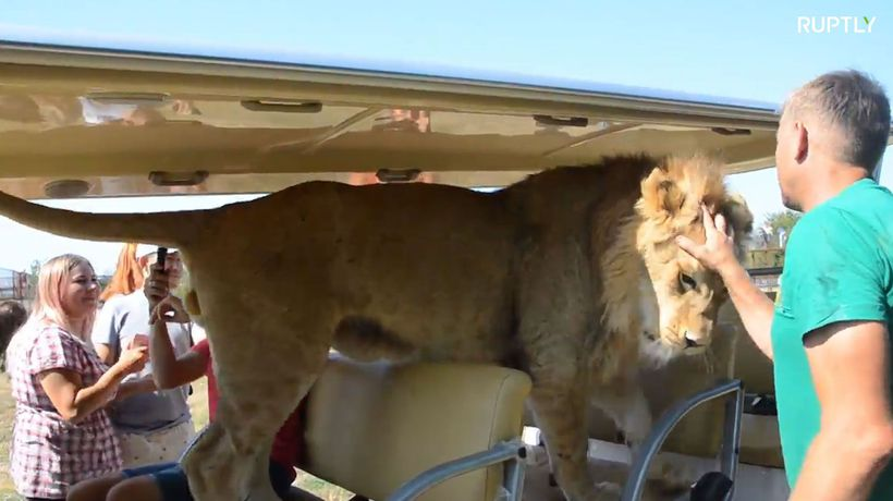 LION breaks into tourist vehicle on Crimea safari tour