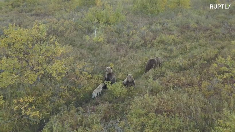 Cute pup makes friends with family of bears in Kamchatka