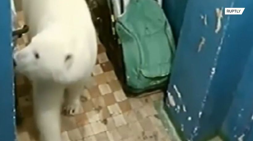 Hungry polar bear searching for food wanders into apartment building in Russia