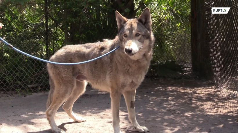Meet Yuki and Mohan, the real-life Game of Thrones GIANT wolfdogs