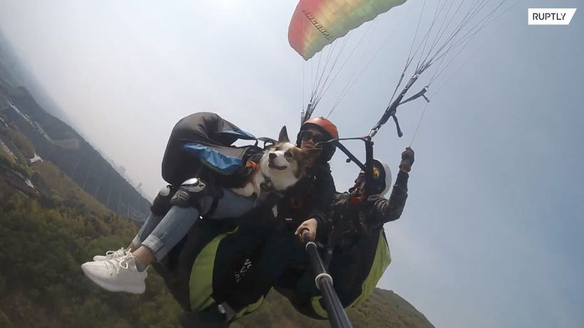 When dogs fly! - Corgis join owners PARAGLIDING near Shanghai