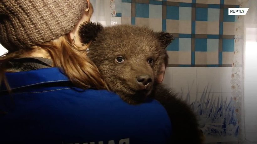 Three bear cubs look for new home after being rescued by loggers in Siberia