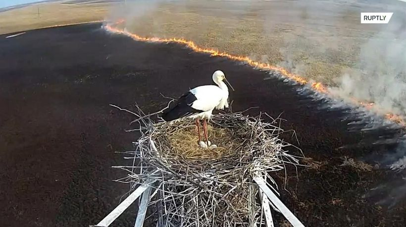 Bird's-eye view! CCTV captures rare stork's nest as fire sweeps through Amur region
