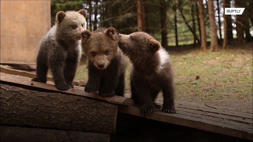 Two bear cubs, abandoned by their mother, find new home