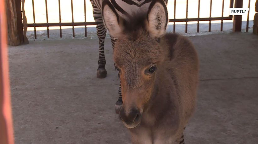 This Russian zoo now has a newcomer – a wonderful 'Zebroid' has come to life