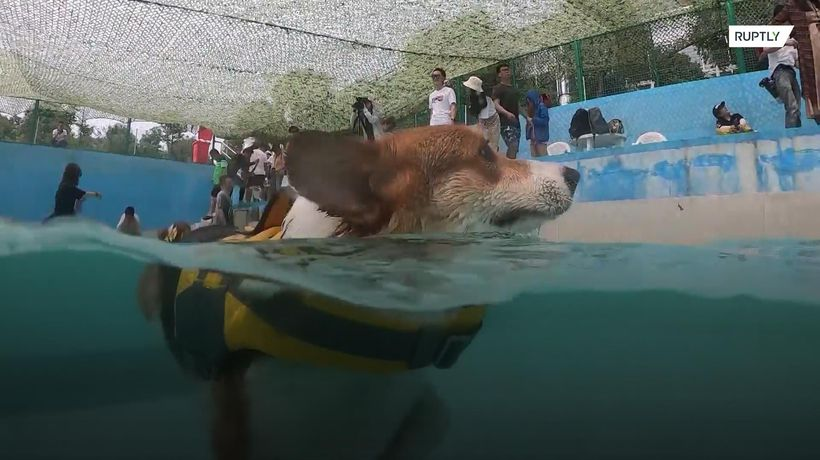 Give your fat dog a work out at the Corgis' Pool Party in Shanghai