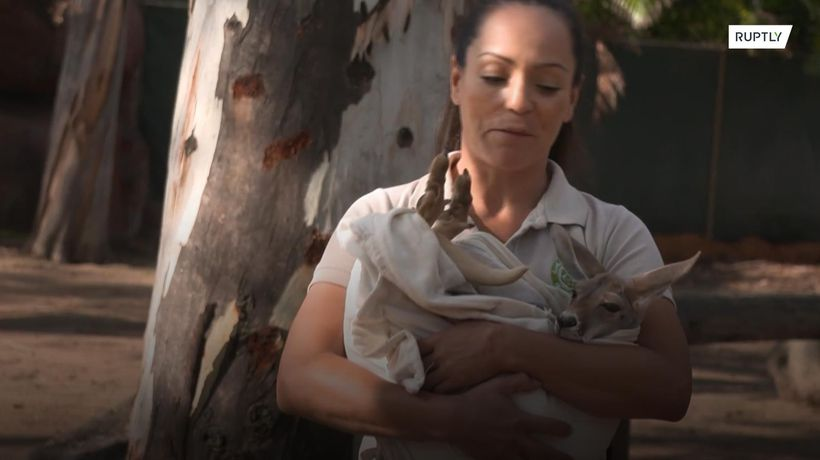 Baby kangaroo adopted after mum's death