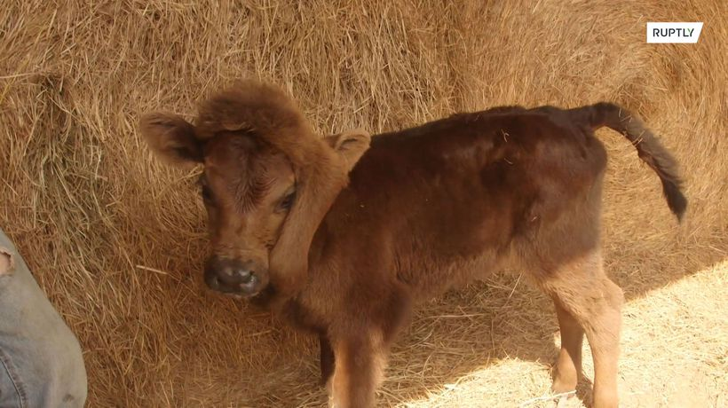 Calf with fifth leg on its head reunited with mother and given new home