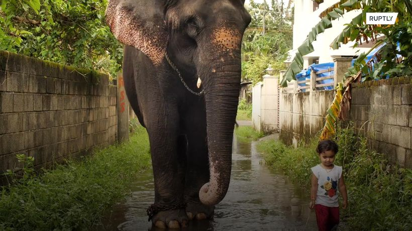 Two-year-old in India plays with a real elephant like you would with a pet