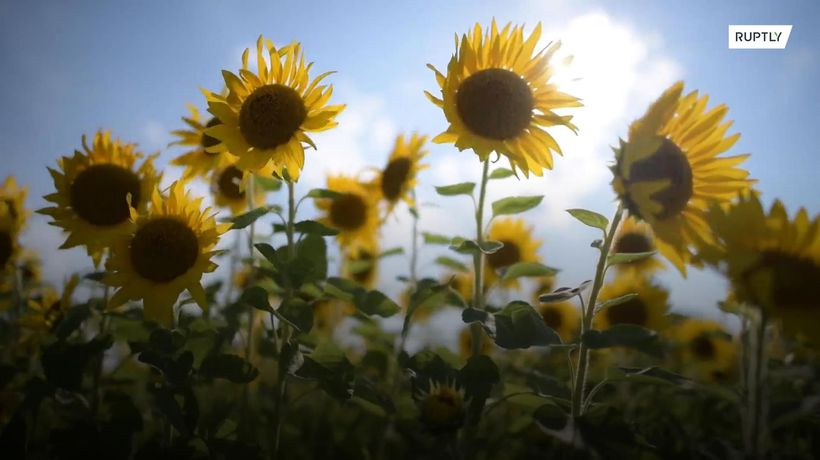 Sunflower maze in full bloom to heal Fukushima soil