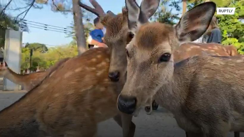 Watch the mysterious gathering of Japan's iconic Nara deer