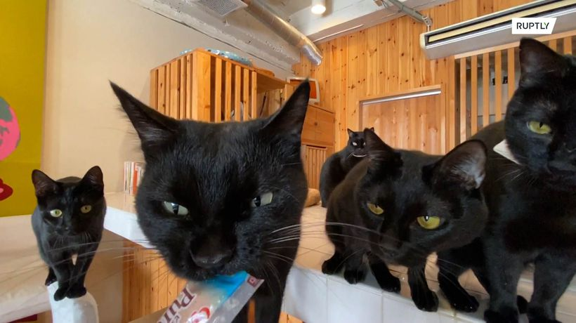Visit the world's only black cat cafe in Japan's Himeji