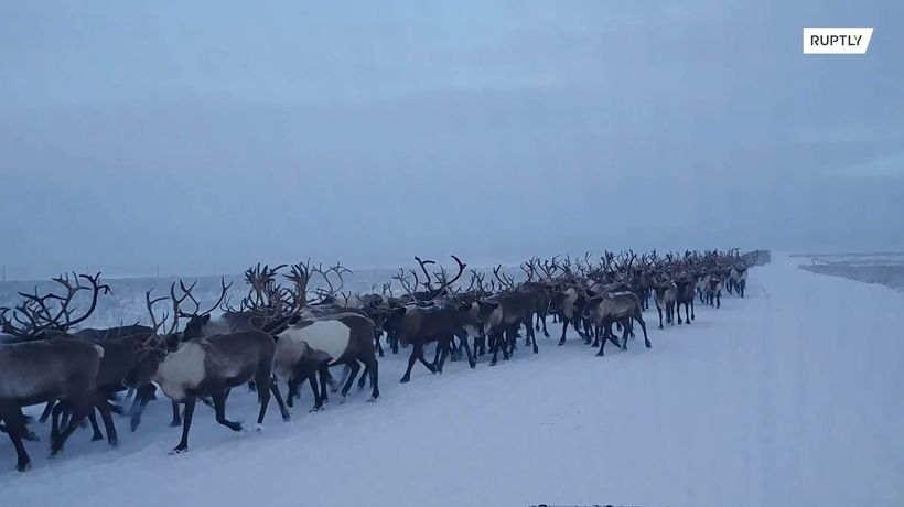 Dutiful drove! Reindeers seen respecting road rules in northern Russia Copied from page