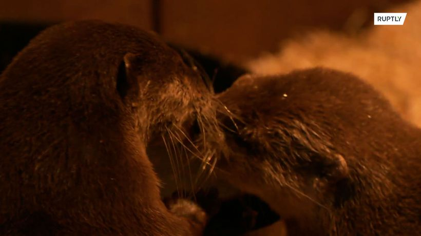 Otterly in love! Otter couple finds love during lockdown after losing partners