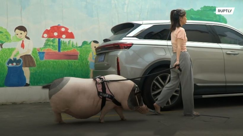 Woman's 'mini-pig' grows into 150 kg behemoth in nearly three years