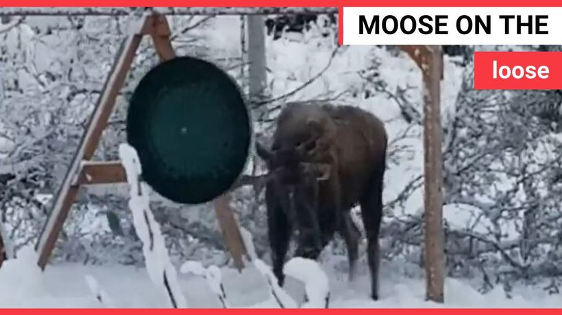 Moose picking a fight with a swing set caught on video
