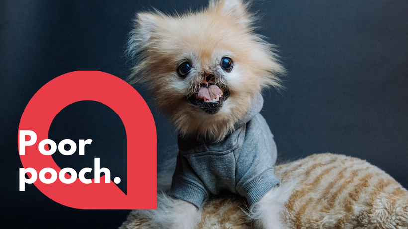Pomeranian dog left without nose after cancer battle