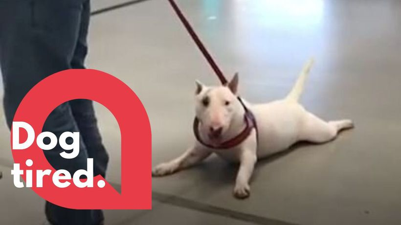 This lazy dog is not a fan of walks