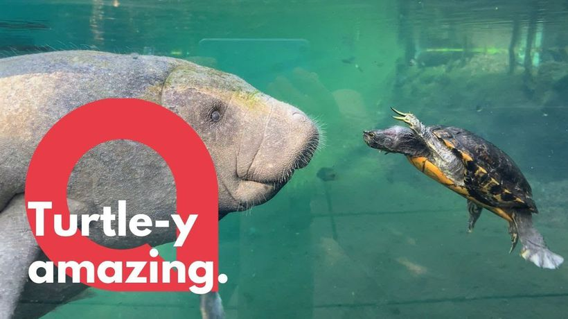 Turtle attempts to take on a manatee