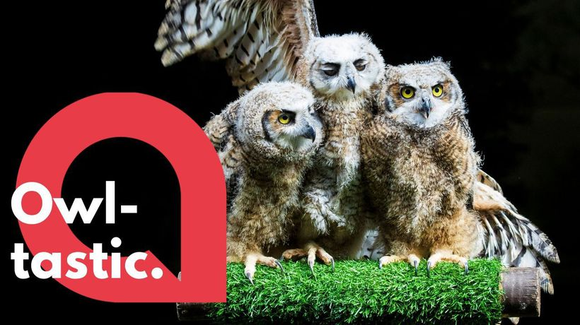Owl chicks are getting ready to take flight