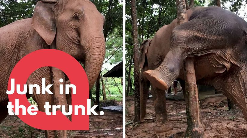 Elephant scratches an itch in comical fashion