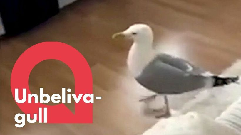 Seagull breaks into house before throwing up