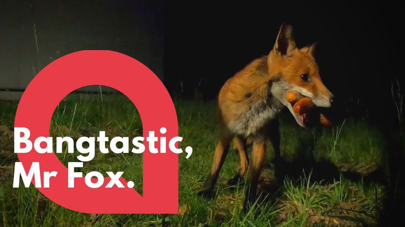 Cheeky fox caught stealing sausages