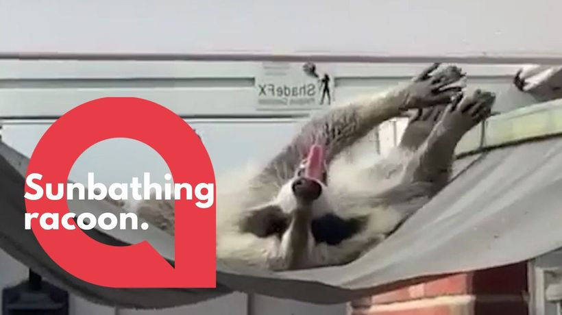 Adorable footage shows a friendly raccoon sunbathing on an awning