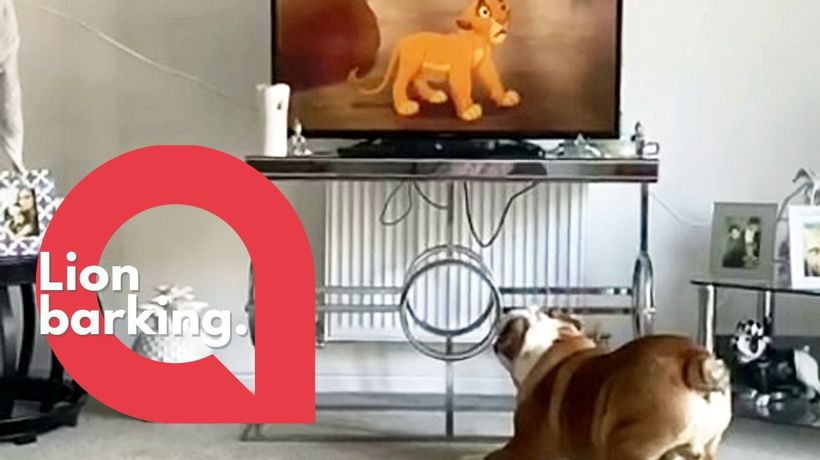British Bulldog becomes obsessed with watching the Lion King movie