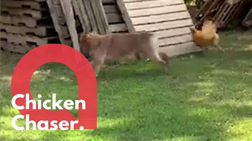 This hilarious footage shows a playful dog having a game of chase with a chicken