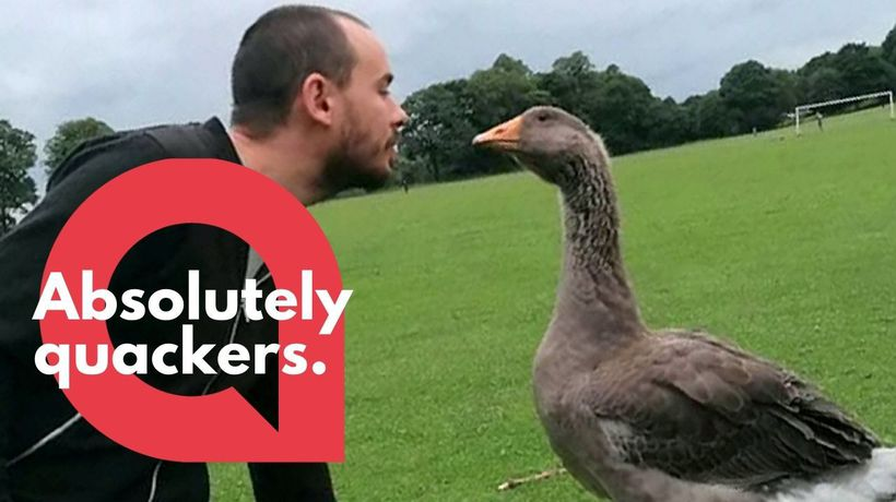 A bachelor has purchased two pet geese to keep him company over lockdown
